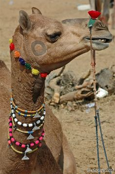 Camel trekking nearby Jaisalmer, Rajastan, India.