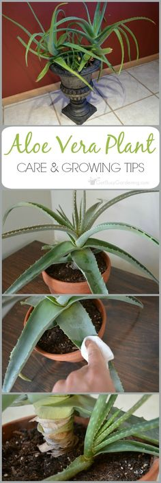 Aloe vera is a very popular plant that is best known for the healing qualities of the gel. Given the proper aloe vera plant care, these amazing plants can live for many years.