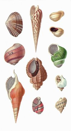 Natural history illustration sea shells 19 Ideas for 2019 Botanical Illustration, Illustration Art, Photo Vintage, Martha Stewart, Shell Art, Natural Forms, Botanical Prints, Henna Designs, Sea Creatures