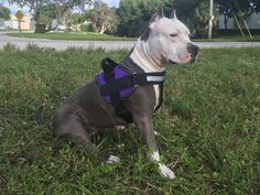 here is a #pic of a #dog in our #purple #unimax with blank #patches lookin' good  if this is your dog make sure to tag yourself - send in pics of your dog to be featured