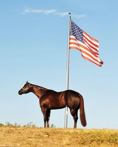 The American Quarter Horse is a proven success in many jobs, from ranching and racing to jumping, driving and more. Horse Photos, Horse Pictures, Animal Pictures, American Quarter Horse, Quarter Horses, American Flag, American Pride, All The Pretty Horses, Beautiful Horses