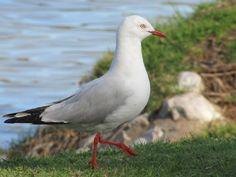 Murray River, Australia - Silver Gull