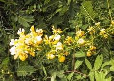 Cassia nictitans - ( Wild Sensitive-Plant ) Part Used: Roots. Medicinal Properties: Cherokee Indians used root tea with other plants to relieve fatigue. (Cassia fasciculata has similar uses.)