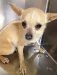 Adopt Willa 8 31 13 On Chihuahua Love Cute Chihuahua Chihuahua