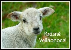 Free photo: Sheep, Wool, Animal, Head, Fur - Free Image on Pixabay Public Domain Free for commercial use No attribution required . Free Pictures, Free Photos, Baby Photos, Free Images, Lord Is My Shepherd, The Good Shepherd, Baby Animals, Funny Animals, Psalm 23