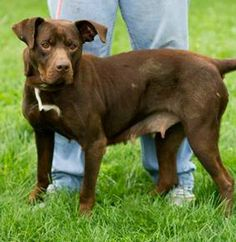 EUTH ALERT-NO SPACE- CLEO IN GASSING SHELTER Chocolate Labrador Retriever & Pit Bull Terrier Mix • Adult • Female • Medium One Person Advocating For The Love Of Dogs Downingtown,