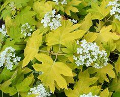 Little Honey oakleaf hydrangea