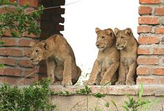 Untamed, these baby lions are so up to their hunting game- Photo by Corinne