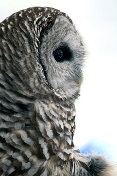 Barred Owl on White - 5x7 Original Signed Fine Art Photograph. $12.00, via Etsy.