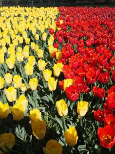 100 000 tulipes à #Cheverny