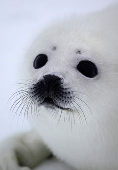 Baby seal seen on ice of the White Sea in Arkhangelsky region