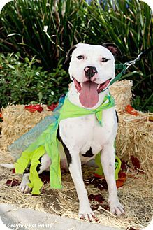 Mission Viejo, CA - Pit Bull Terrier Mix. Meet Ms. Moo a Dog for Adoption.