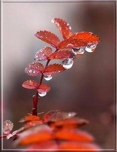 Raindrops and Roses Dew Drops, Rain Drops, Raindrops And Roses, Drip Drop, Morning Dew, Good Morning Greetings, Water Art, Water Droplets, Good Morning Images
