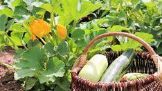 9 pravidel, jak správně pěstovat cukety. Recepty, co s cuketami dělat v kuchyni. Doporučené odrůdy cuket. Nejčastější chyby při pěstování cuket. Wicker Baskets, Gardening, Lawn And Garden, Yard Landscaping, Woven Baskets, Horticulture