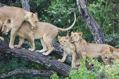 """Discover the success story of the lion pride at Ol Donyo Lodge in Kenya - an authentic example of Rudyard Kipling's poem, """"If"""", in practice. Lion Pride, If Rudyard Kipling, Success Story, East Africa, Kenya, Ol, Kangaroo, Safari, Animals"""