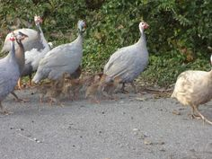 Guinea Fowl with Keets in tow.   #guinea #poultry #keets #guinea fowl