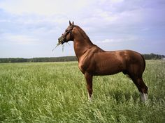 Tibul - Don - photos - equestrian.ru