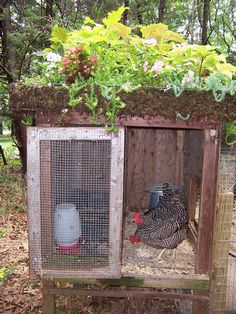 I am thinking when I build my official chicken coop that I want to build it like an earth home.  Growing stuff on top, south facing and slanted roof for maximum sun exposure/cooling in the year.