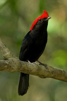 Helmeted Manakin (Antilophia galeata). Found in the wetlands of Brazil's pantanal and nearby regions. photo: Octavio Campos Salles.
