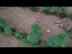 Copilire castraveți! - YouTube Plants, Growing