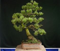 pinus mugo bonsai - Google Search