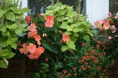 Window box with apricot begonia, lime green coleus.
