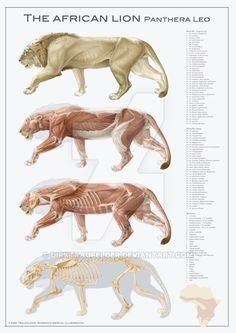 lion anatomy by DirkTraufelder.deviantart.com on @DeviantArt