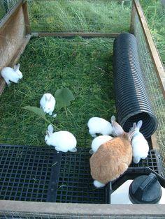 rabbit tractor | Rabbit tractor. PVC drain pipe for rabbit burrow. | Animal Housing