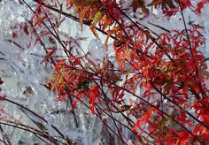 maple bonsai available may 2015