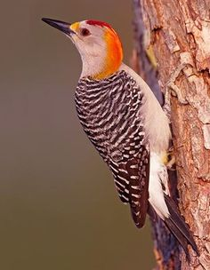 Golden-fronted Woodpecker Melanerpes aurifrons - Google Search