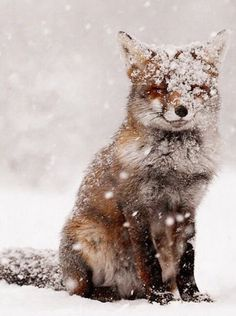 Fashion, wallpapers, quotes, celebrities and so much more : Rødrev i snø // Fox in snow Amazing Animals, Animals Beautiful, Beautiful Images, Nature Animals, Animals And Pets, Animals Planet, Animal Kingdom, Cute Baby Animals, Funny Animals