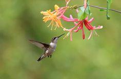 Hummingbird Flowers   Hummingbird And Honeysuckle Flower