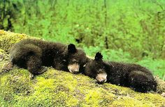 Black Bear Cubs Sleeping | beingmyself | Flickr