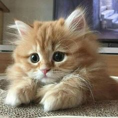 Top 25 Cute Kittens and Funny Cats Fluffy Kittens, Kittens And Puppies, Cute Cats And Kittens, I Love Cats, Crazy Cats, Cool Cats, Adorable Kittens, Siberian Kittens, Kittens Cutest Baby