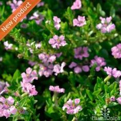 Cuphea hyssopifolia 'Jocelyn's Pink' Pretty pink flowering cuphea, compact, perfect for borders and containers. Plant in the foreground of your garden to enjoy the year round flowering. #flowering#hedge#pink