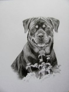 "The #Rottweiler sketch I just finished. Done in graphite pencil in 8x10"" size. You can have a piece like this done of your furbaby by visiting http://www.gensart.net"
