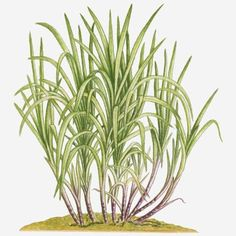 size: Photographic Print: Illustration of Saccharum Officinarum (Sugarcane) Bearing Multiple Stems from Lateral Shoots at Bas by Dorling Kindersley : Plant Painting, Plant Drawing, Sugar Cane Plant, Plant Illustration, Botanical Art, Daffodils, Find Art, Framed Artwork, Dessert Logo
