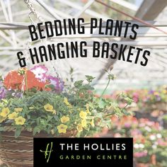 Hanging baskets and bedding plants nurtured by our Nursery team at The Hollies Farm Shop, Cheshire