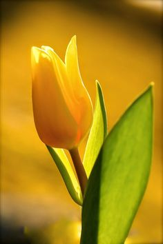 Yellow mellow tulip