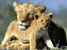 Sleepy lioness cuddling with one of her cute cubs.