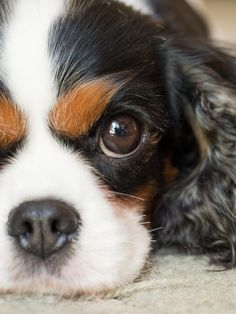 """cavalier king charles spaniel"" by mollie hewitt on 500px - Such a sweet face!"