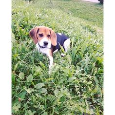Instagram photo by I am Aria, a pretty beagle 🎀🐶 (@aria_theshebeagle)…