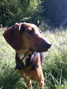 Avery. Her mom was a treeing walker hound and her dad was a redbone coonhound