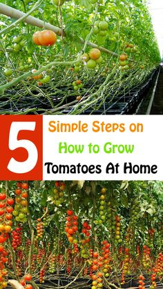 Different Ways to Grow Tomato Plant and Harvest Fresh Tomatoes Homestead Gardens, Grow Tomatoes, Urban Homesteading, Tomato Plants, Gardening Tips, Harvest, Home And Garden, Pumpkin, Organic