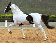 Mangalarga stallion Quanblanco Do Pec. Also called Mangalarga Paulista, it is a light, versatile, gaited horse developed from the Mangalarga Marchador. It has less Iberian baroque blood since Arabian, saddlebred, and thoroughbred lines were added.