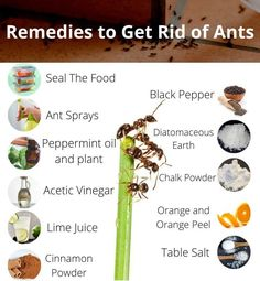 Ant Species, Ant Spray, Ant Colony, Micro Farm, Black Ants, Get Rid Of Ants, Fire Ants, How To Get Rid, Pest Control