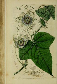 Passiflora foetida Stinking passionflower