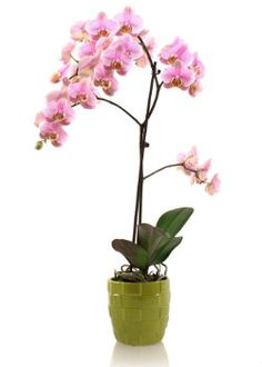 Raising a Phalaenopsis orchid can be very challenging, see this free guide for how to identify and correct a problem.