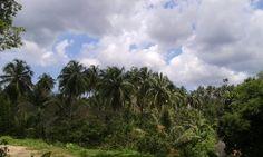 Coconut tree from Manado