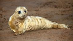 """Grey Seal Pup by Adrian McGarry, via 500px - """"As autumn turns to winter hundreds of Grey Seals begin populating the sand banks on the Lincolnshire coast at Donna Nook in North East England to give birth to their pups."""""""